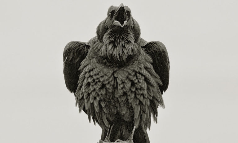 Raven PT Reyes CA by William Bullard