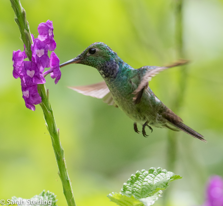 Sterling, Sarah 1 - Green Hummingbird